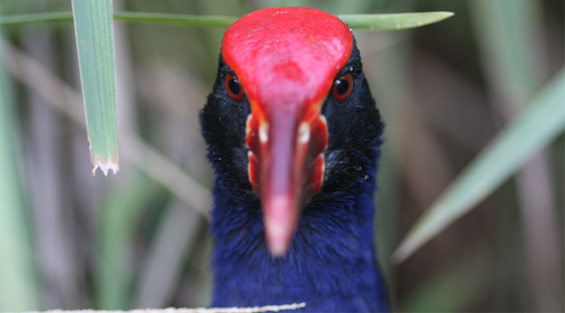 Pukeko, close up of head. Photo © Gareth Rapley.