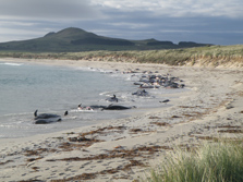 Pilot whales stranded on an isolated beach, north eastern Chatham Islands. Photo: Ken Hunt.