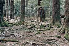 Damage to beech forest by fallow deer.