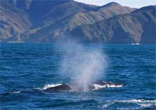 Humpback whale seen during the Cook Strait whale survey. Photo: Simon Childerhouse.