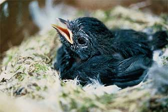 Chatham Island black robin nestling.  Photo: Don Merton.