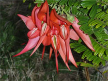 The deep red flowers of the kakabeak, curved like the beak of the parrot after which they're named, hang in heavy bunches.