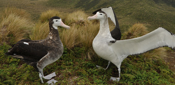 Antipodean wandering albatross pair. Photo: K Walker.