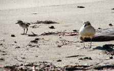 NZ dotterel and chick.