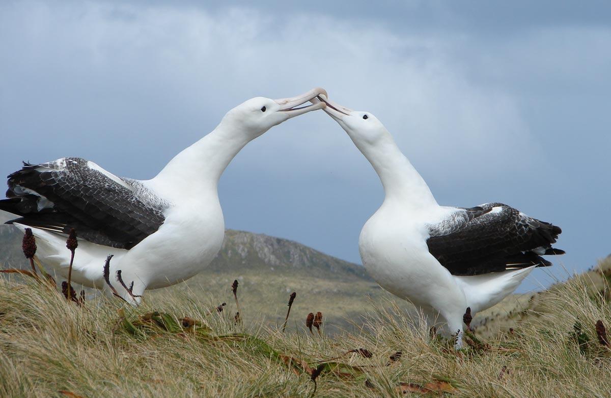 Northern royal albatross: New Zealand sea and shore birds