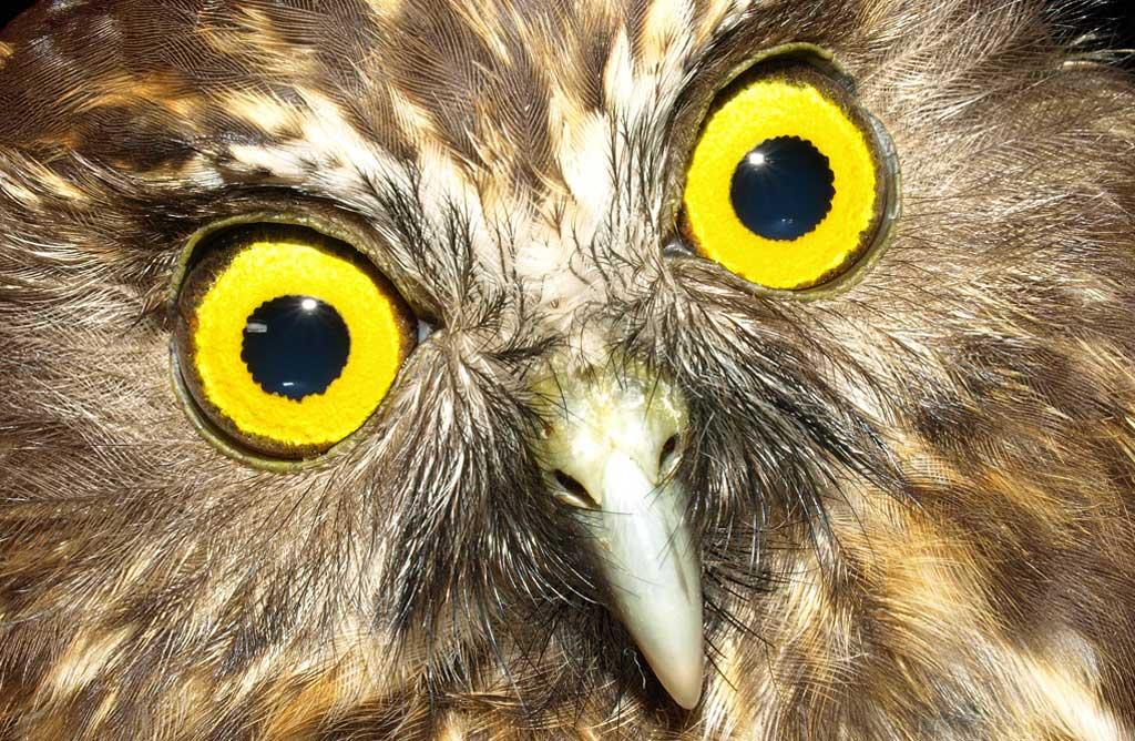 Morepork/ruru: New Zealand native land birds