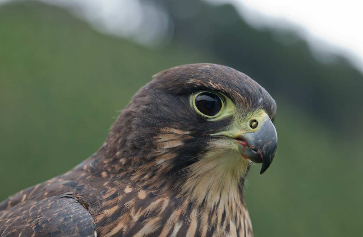 New Zealand falcon/kā...