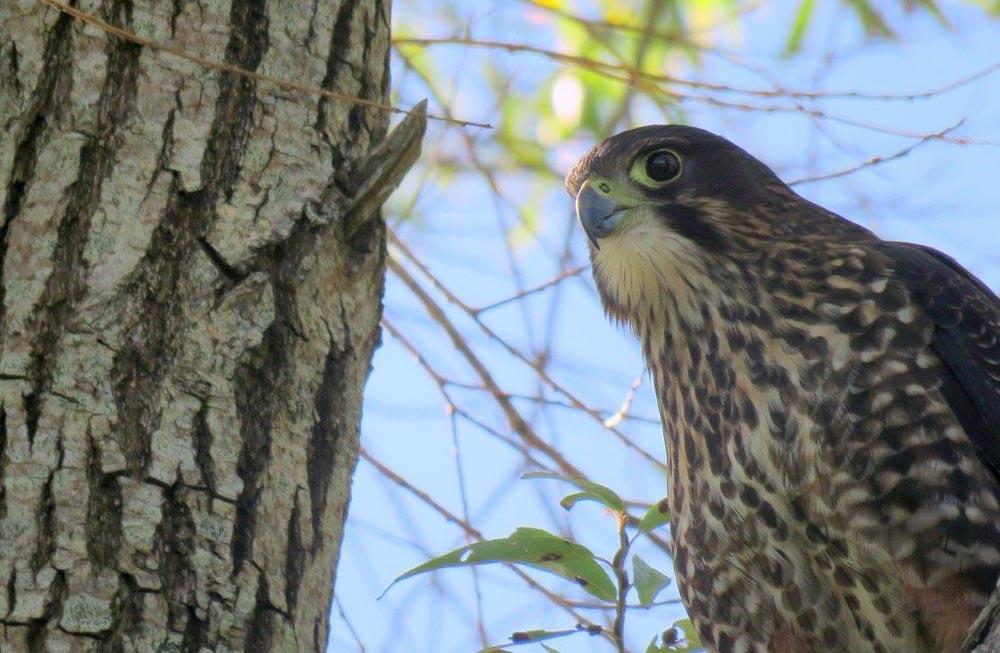 New Zealand falcon/kārearea: New Zealand native land birds