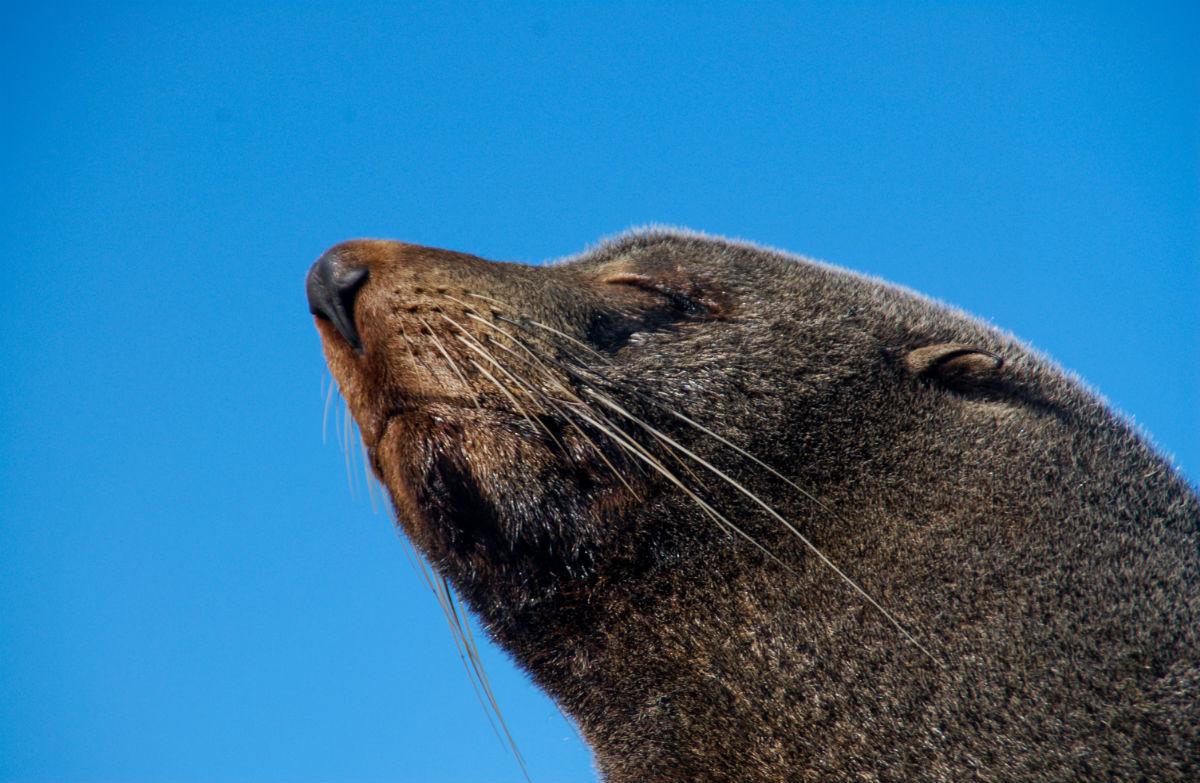 New Zealand fur seal/kekeno: New Zealand marine mammals