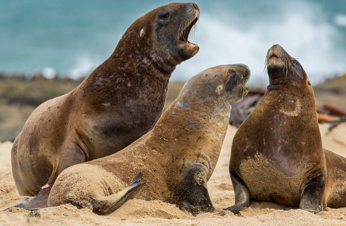 An Male Steller Sea Lion Lions Are The Largest Of All Lionales May Reach A Body M Over 2 400 Lb 1 100 Kg