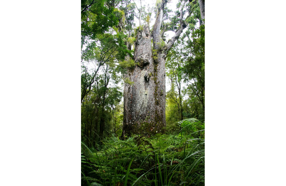Agathis Sawn Timber ~ Kauri new zealand native plants