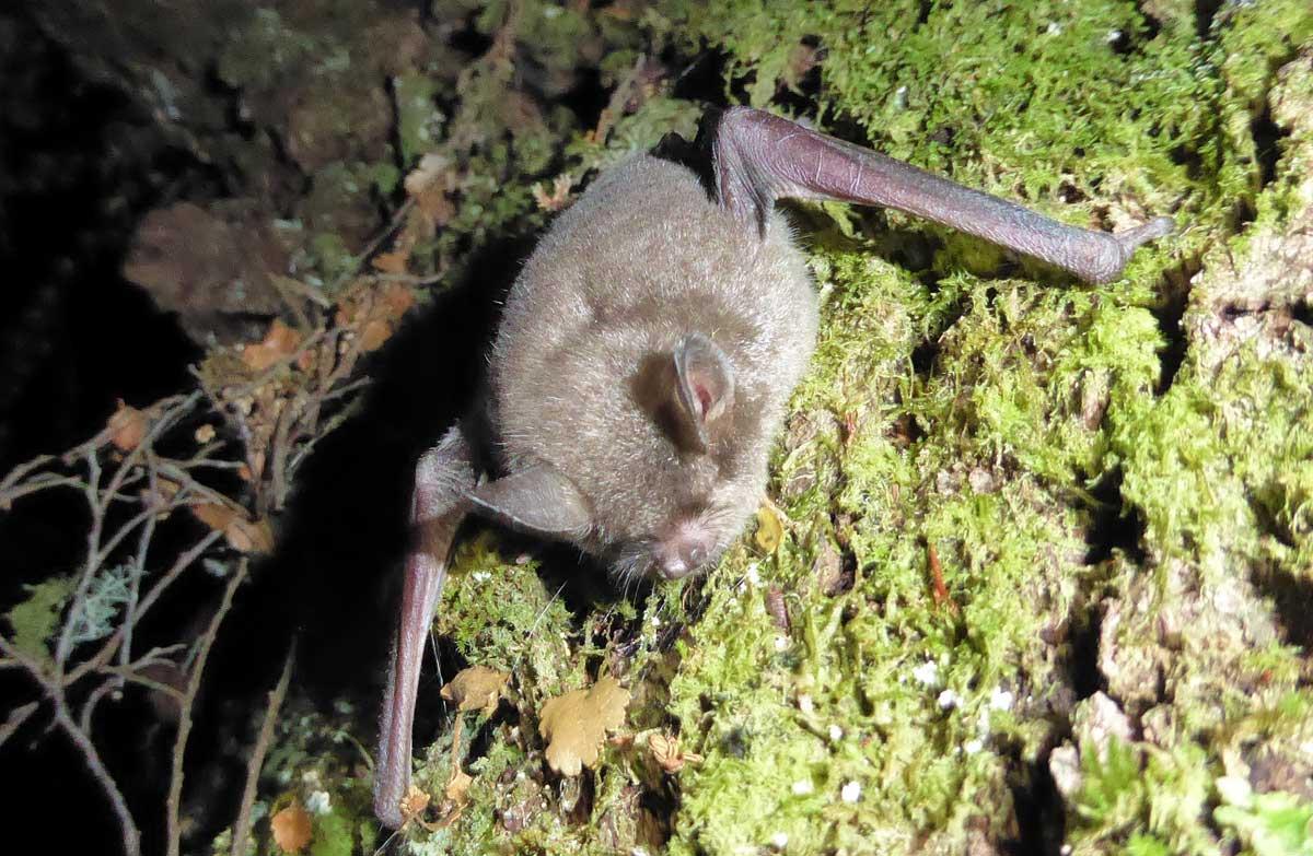 short-tailed-bat-gallery.jpg
