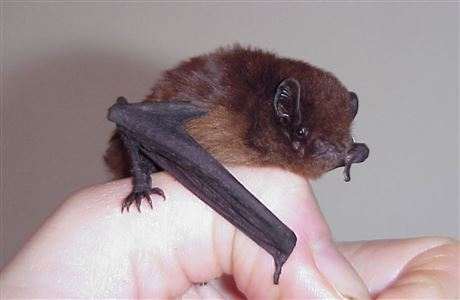 Long-tailed bat.