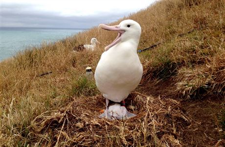 Royal albatross with new chick.