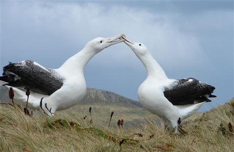 Two southern royal albatrosses.