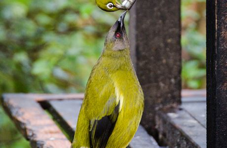 Bellbird and silvereye feeding.