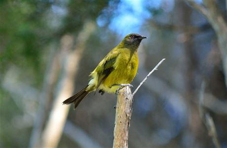 Close up of bellbird on branch.