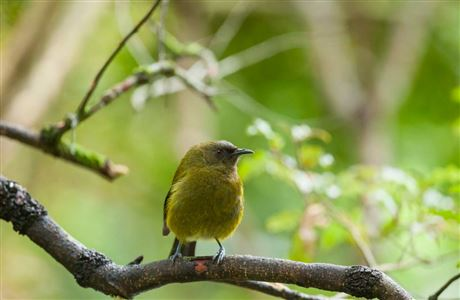 Bellbird on branch.