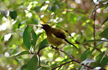 Singing bellbird.