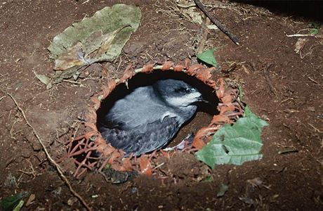Petrel in artifical nest cavity.