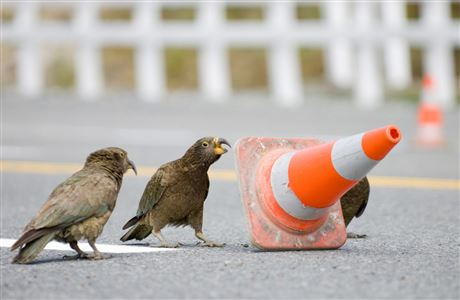 Three kea playing with a road cone.