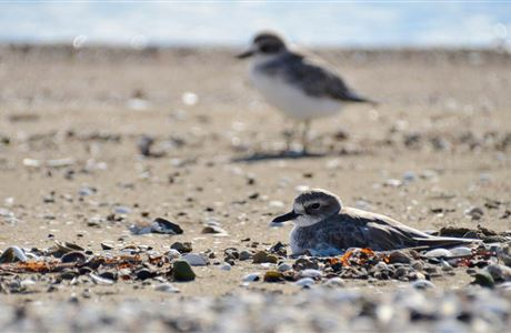 NZ dotterel on nest.