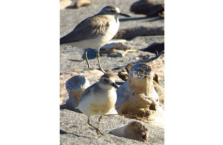 Northern New Zealand dotterel.