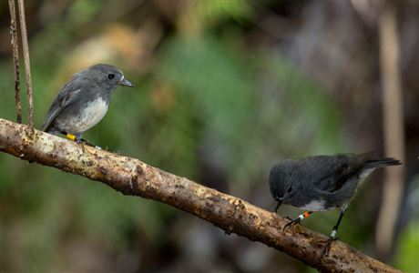 Two Stewart Island robins on branch.