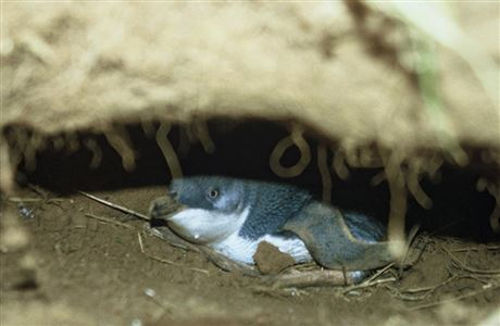 Penguin in burrow.
