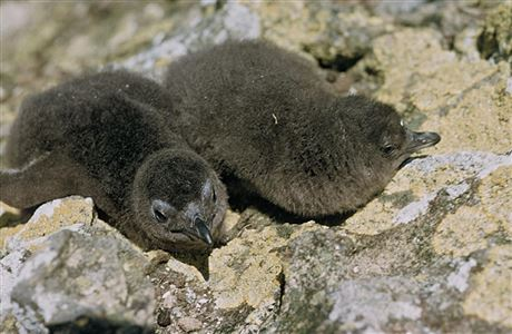 Penguin chicks on rocks.