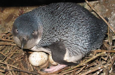 Little penguin on eggs.