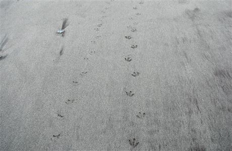 Penguin tracks in sand.