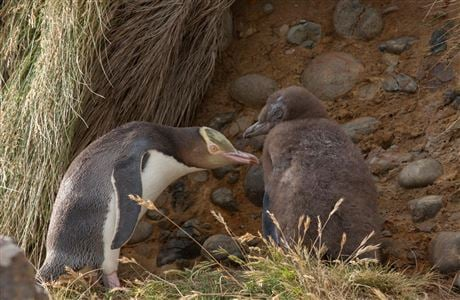 Yellow-eyed penguin and chick.