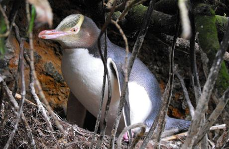 Yellow-eyed penguin, Curio Bay.