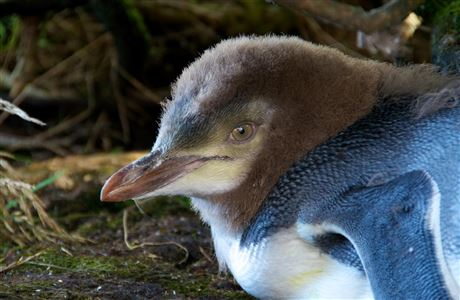 Yellow-eyed penguin in first moult