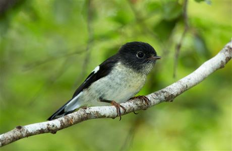 South Island tomtit.
