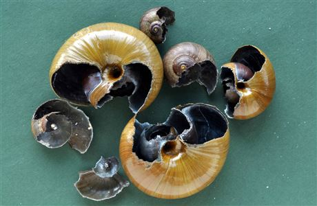Shells of snails eaten by rats.