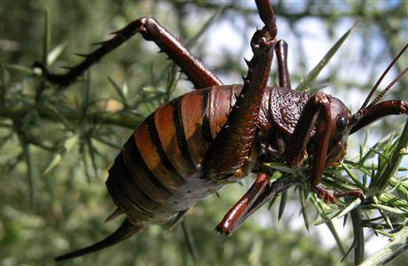 Mahoenui giant wētā on gorse.