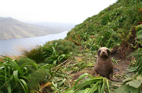 New Zealand sea lion pup on Mount Lyall, Campbell Island.