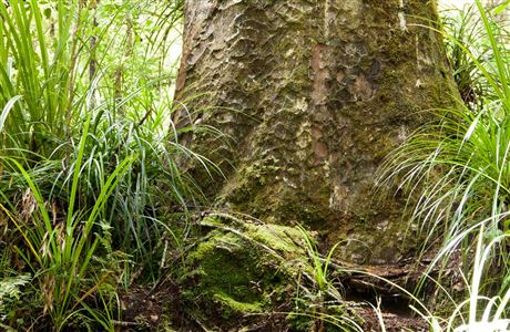Base of kauri tree trunk.