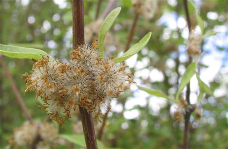 Olearia hectorii with ripe seed.