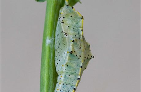 Great white butterfly pale green pupa.