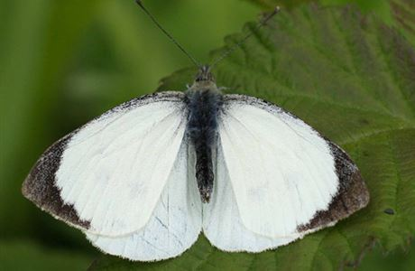 Male great white butterfly.