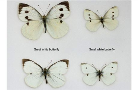 Great white and small white butterfly.