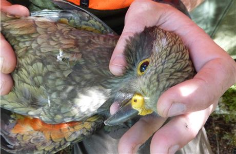 Attaching a transmitter to a young kea.