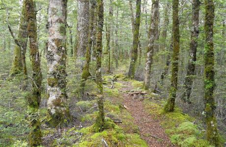 Beech forest on Nina Valley Track.