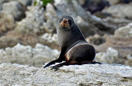 New Zealand fur seal on Kaikoura Peninsula Walkway.