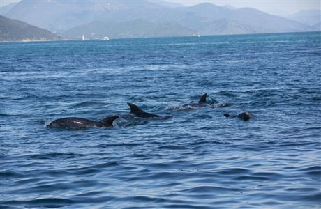 Dolphins at Queen Charlotte Sound.