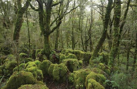 Moss-covered beech forest.