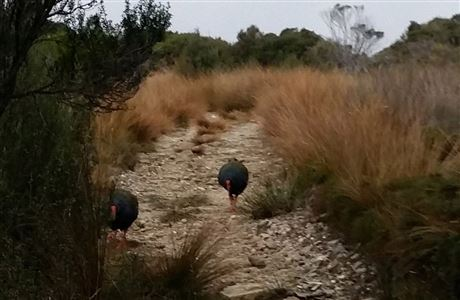 Two takahe on a track.